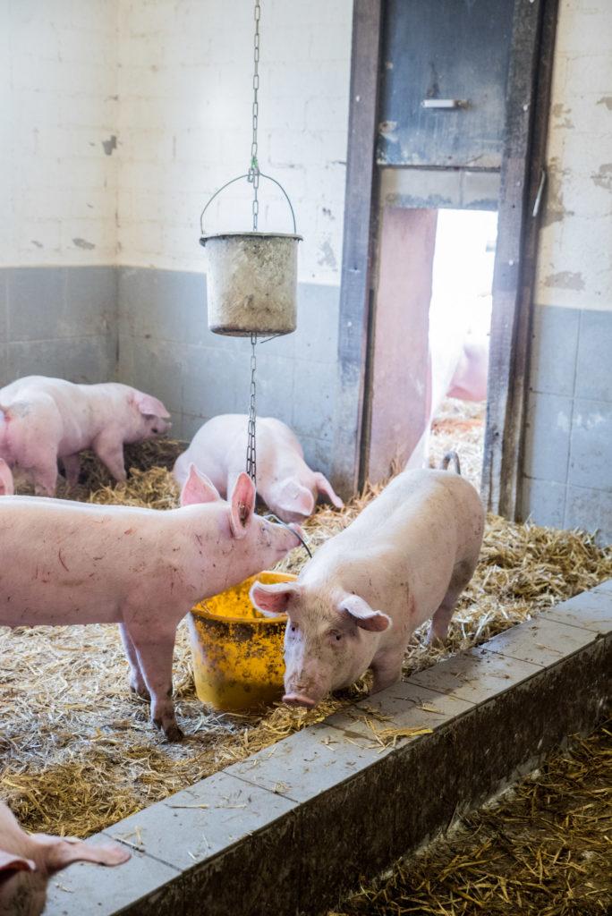 Aktivstall für Schweine