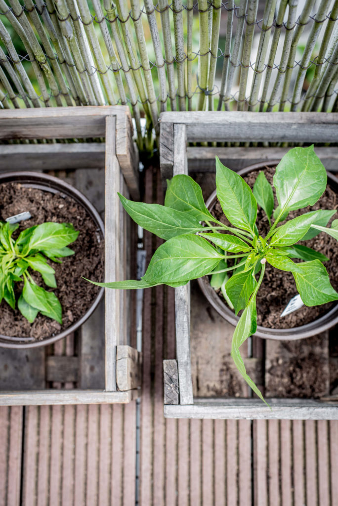 Tomaten pflanzen Paprika pflanzen