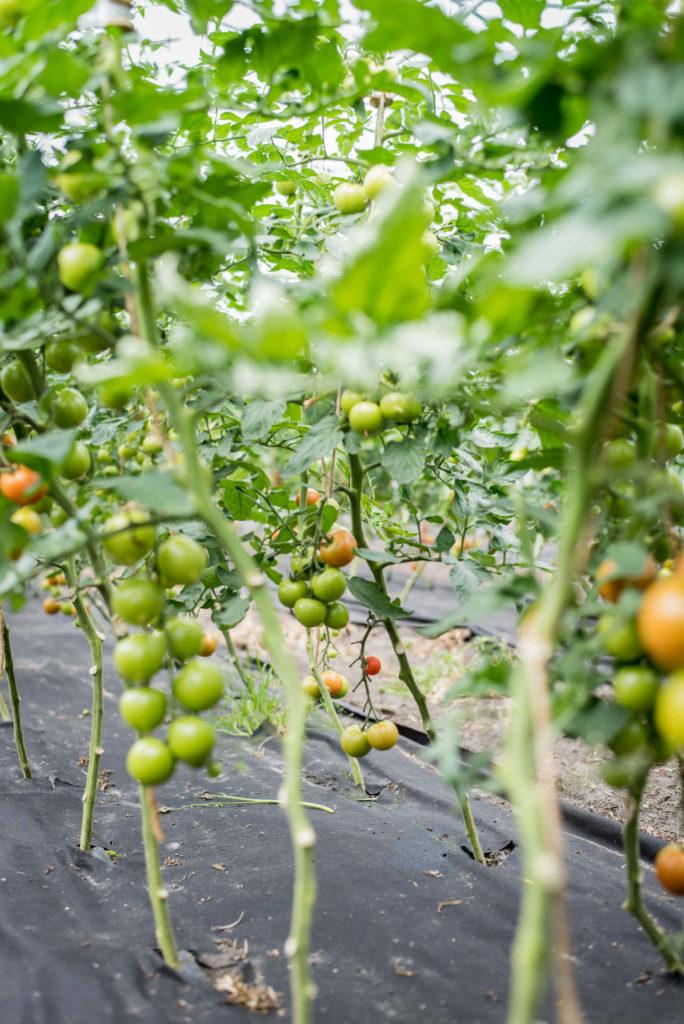 Tomaten regional